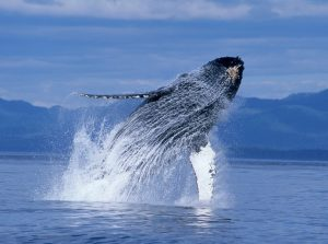 Humpback Whales DVD Giveaway
